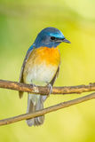 Portrait of Chinese Blue Flycatcher Stock Photos