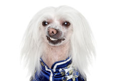 Portrait of a Chinese Crested dog Stock Photo