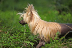 Portrait of Chinese Crested Dog Royalty Free Stock Images