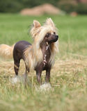 Portrait of Chinese Crested Dog Stock Photos
