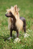 Portrait of Chinese Crested Dog Royalty Free Stock Photography