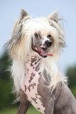 Portrait of Chinese Crested Dog Royalty Free Stock Photo