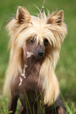 Portrait of Chinese Crested Dog Stock Photo