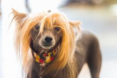 Chinese Crested Dog. Portrait of Chinese Crested hairless Dog with copy space for text stock photos