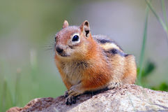 Portrait of chipmunk royalty free stock photography