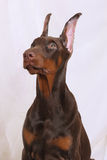 Portrait of a chocolate Doberman Stock Photo