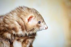 Portrait of chocolate ferret stock photo