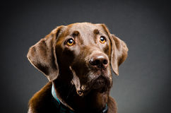 Portrait of a chocolate lab Stock Photo