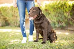 Dog sitting in park. Portrait of chocolate labrador dog sitting in park next to woman leg in jeans royalty free stock photo