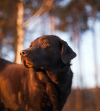 Portrait of Chocolate Labrador Retriever Royalty Free Stock Photography