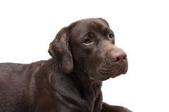 Portrait of a chocolate labrador on white background Stock Photos