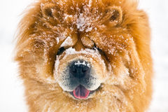 Portrait chow chow Royalty Free Stock Photography