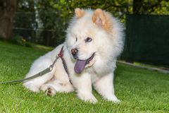Chow chow pet in the garden Stock Images