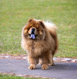 Portrait of Chow Chow dog Stock Photo
