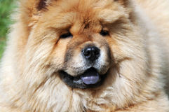 Portrait of a  chow-chow dog Stock Photo