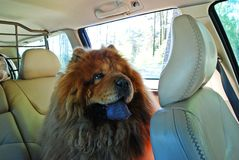 Portrait of Chow Chow dog traveler in the car Royalty Free Stock Photo