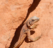 Portrait of Chuckwalla Royalty Free Stock Images