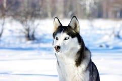 Portrait of  Chukchi husky Stock Photos