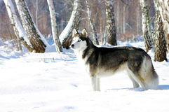 Portrait of Chukchi husky Royalty Free Stock Photo