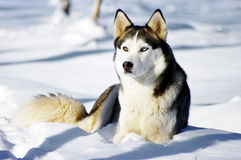 Portrait of Chukchi husky Stock Images