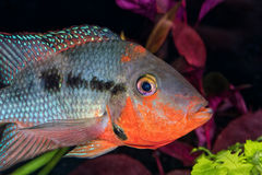 Portrait of cichlid fish (Hemichromis sp.) in aquarium Royalty Free Stock Photos