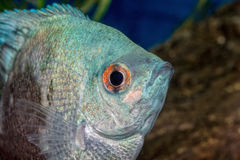 Portrait of cichlid fish Pterophyllum scalare Stock Photo