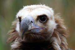 Portrait of Cinereous Vulture Stock Photo