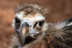 Portrait of Cinereous Vulture Stock Image
