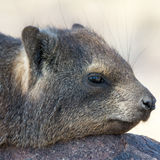 Portrait of a Cliff Hyrax Royalty Free Stock Images
