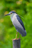 Portrait close up of Black-crowned Night-Heron Stock Photography