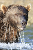 Portrait close-up of brown bear boar. Close-up vertical picture of brown bear Stock Photo