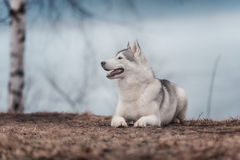 Portrait of a close-up dog Siberian Husky Royalty Free Stock Photography