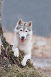 Portrait of a close-up dog Siberian Husky Royalty Free Stock Photo