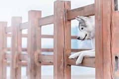 Portrait of a close-up dog Siberian Husky Stock Photo