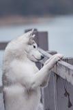 Portrait of a close-up dog Siberian Husky Royalty Free Stock Image