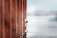 Portrait of a close-up dog Siberian Husky Royalty Free Stock Photo