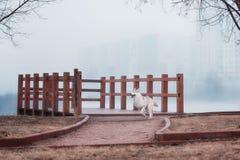 Portrait of a close-up dog Siberian Husky Stock Photos