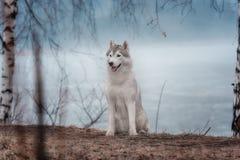 Portrait of a close-up dog Siberian Husky Stock Image