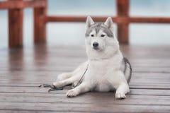 Portrait of a close-up dog Siberian Husky Royalty Free Stock Photography