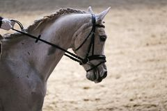 Portrait close up of dressage sport horse with unknown rider Royalty Free Stock Photography