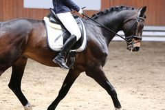 Unknown contestant rides at dressage horse event indoor in riding ground. Portrait close up of dressage sport horse with unknown rider.Sport horse portrait royalty free stock images