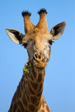 Portrait close-up of giraffe head against a blue sky chew. And eating stock image