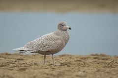 Glaucous gull Larus hyperboreus Stock Photo