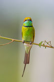 Portrait close up of Green Bee eater Stock Images