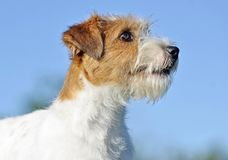 Portrait Close-up Jack Russell Wire Haired Terrier Puppy Dog On Blue Background Royalty Free Stock Photography