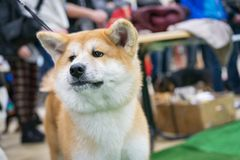 Portrait of a close up of Japanese Akita at an exhibition of dogs.  stock images