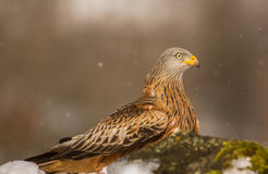 Red Kite close-up Stock Photo