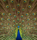 Portrait and close up of peacock Stock Photography