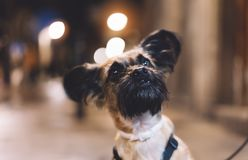 portrait close-up smiles brown pet, funny dog ​​sits on a bokeh night city on a leash outdoor, home puppy enjoys stock photography