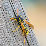 Portrait of a close-up of a wasp. Which sits on the old board Stock Photo